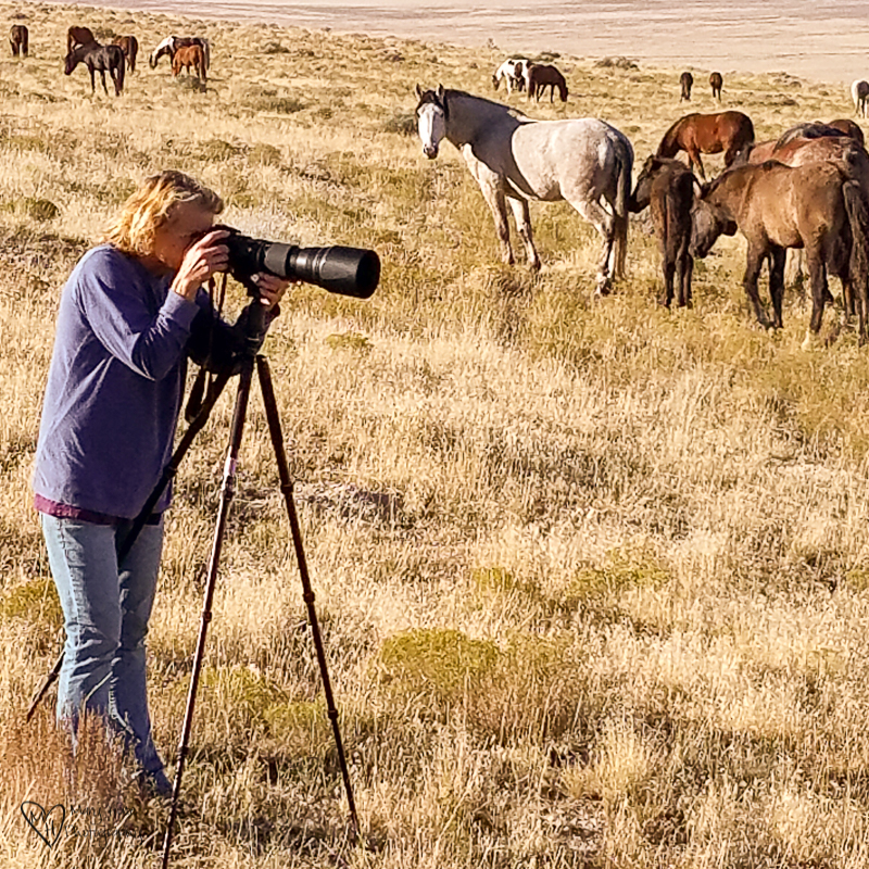 photographing wild horses